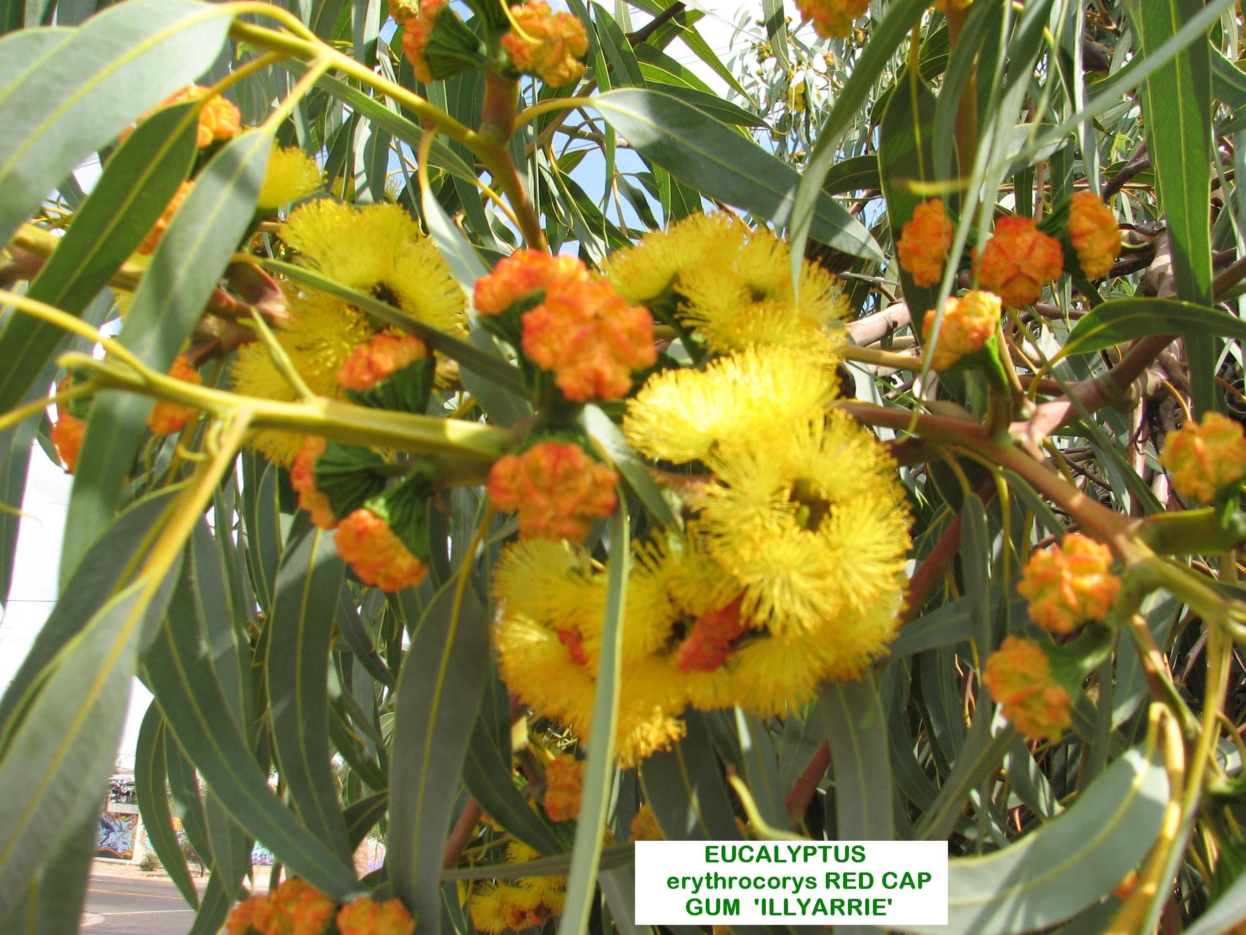 g E.erythrocorys July flowers.jpg