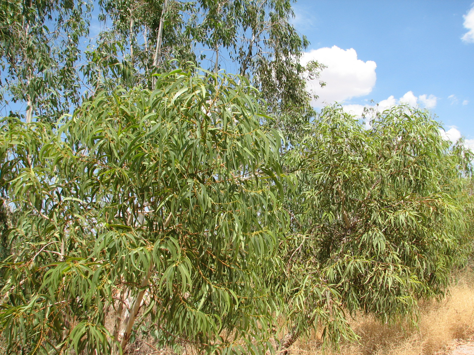 g walkabout drive specimens ,planted in rows of three.jpg