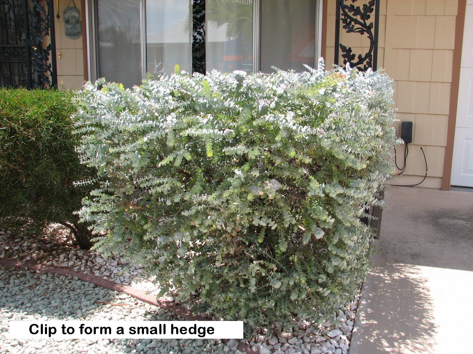 l  clipped hedge.jpg