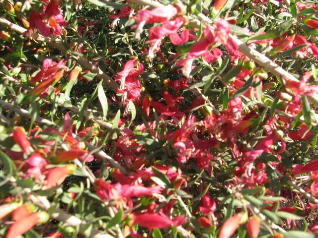22 Eremophila maculata OUTBACK BUSHFIRE.jpg