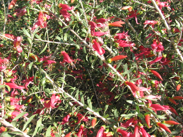 22 outback bushfire WINTER FLOWERS.jpg