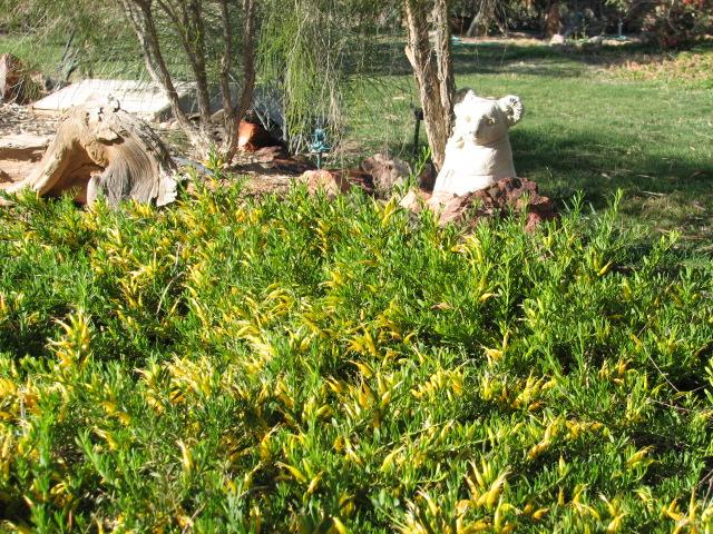 23 Eremophila OUTBACK SUNRISE Homestead Garden.jpg