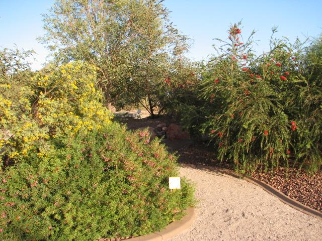 19 E. CARMINE STAR Desert garden specimen.jpg