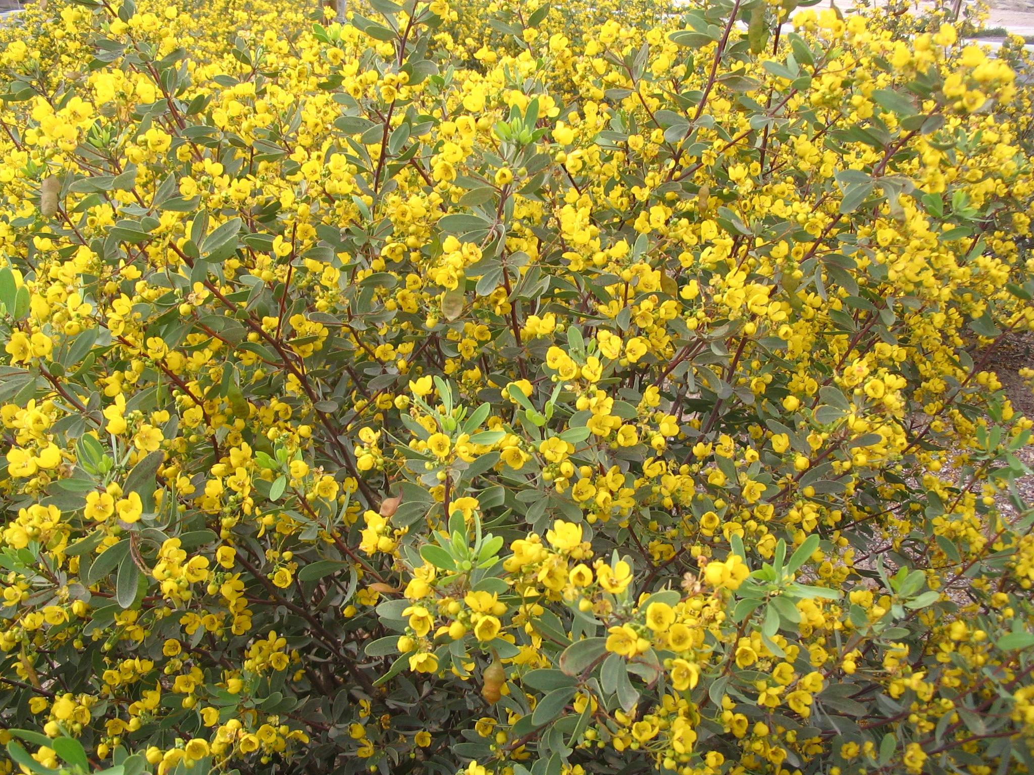 41 senna oligophylla.jpg