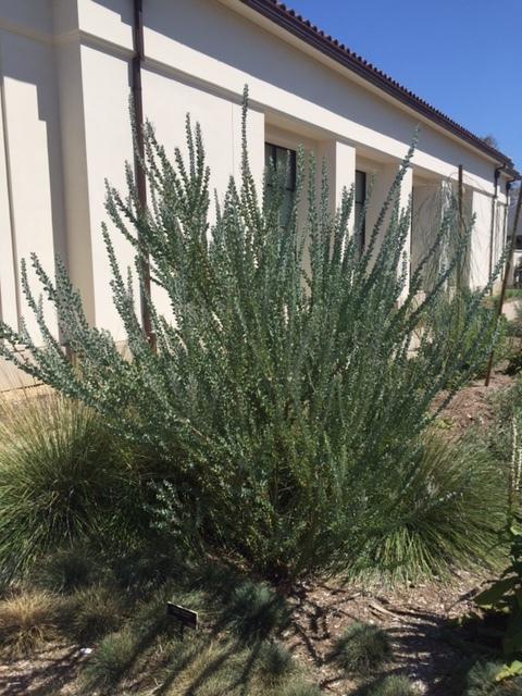 Acacia-cultriformis-knife acacia.JPG