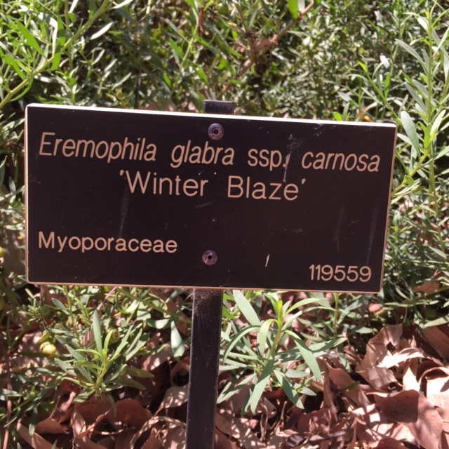 Eremophila-glabra-winter-blaze-sign.JPG