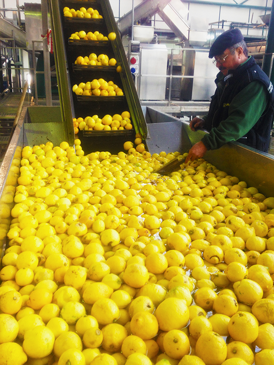 A look at Fragrance Compositions.Processing Sicilian Lemon for the perfume industry. Photo taken at Capua in Reggio Calabria, Italy