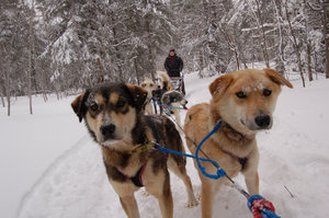 susan mushing with huskies in the Upper peninsula.