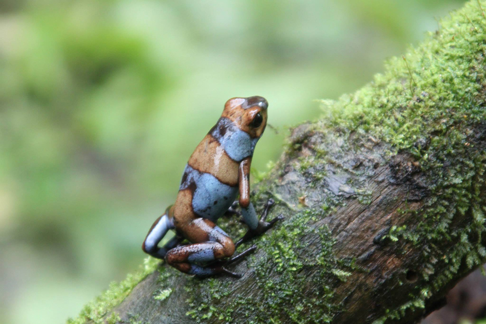 Oophaga histrionica , one of several species being captively bred and sustainably supplied by Tesoros de Colombia.  Such efforts are making available the first legally exported frogs from the country of Colombia in decades. (photo  ©  Tesoros de Colombia)