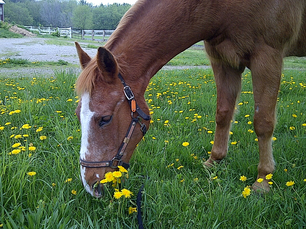 Pipper, a veteran pride horse of Pride Stables. Pipper is relied on regularly for riding lessons and for teaching the kids about horse care.