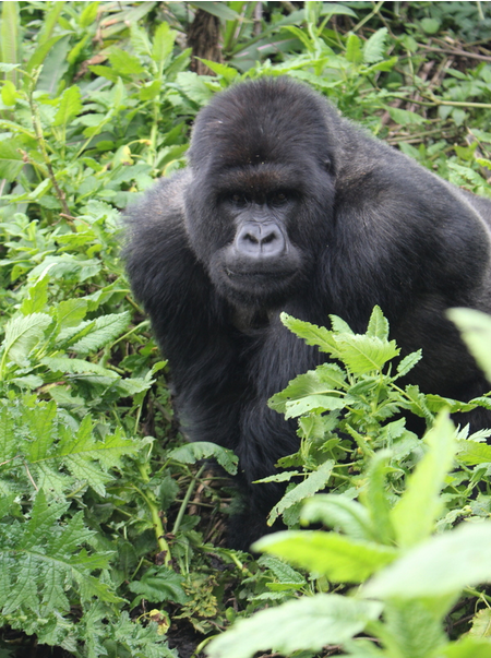 In the midst of travel, conferencing and slow internet connections this week, I didn't come across any compelling graphics. So here's a picture of a mountain gorilla I took this weekend in Volcanoes National Park. I can highly recommend  gorilla trekking . Source: Me.