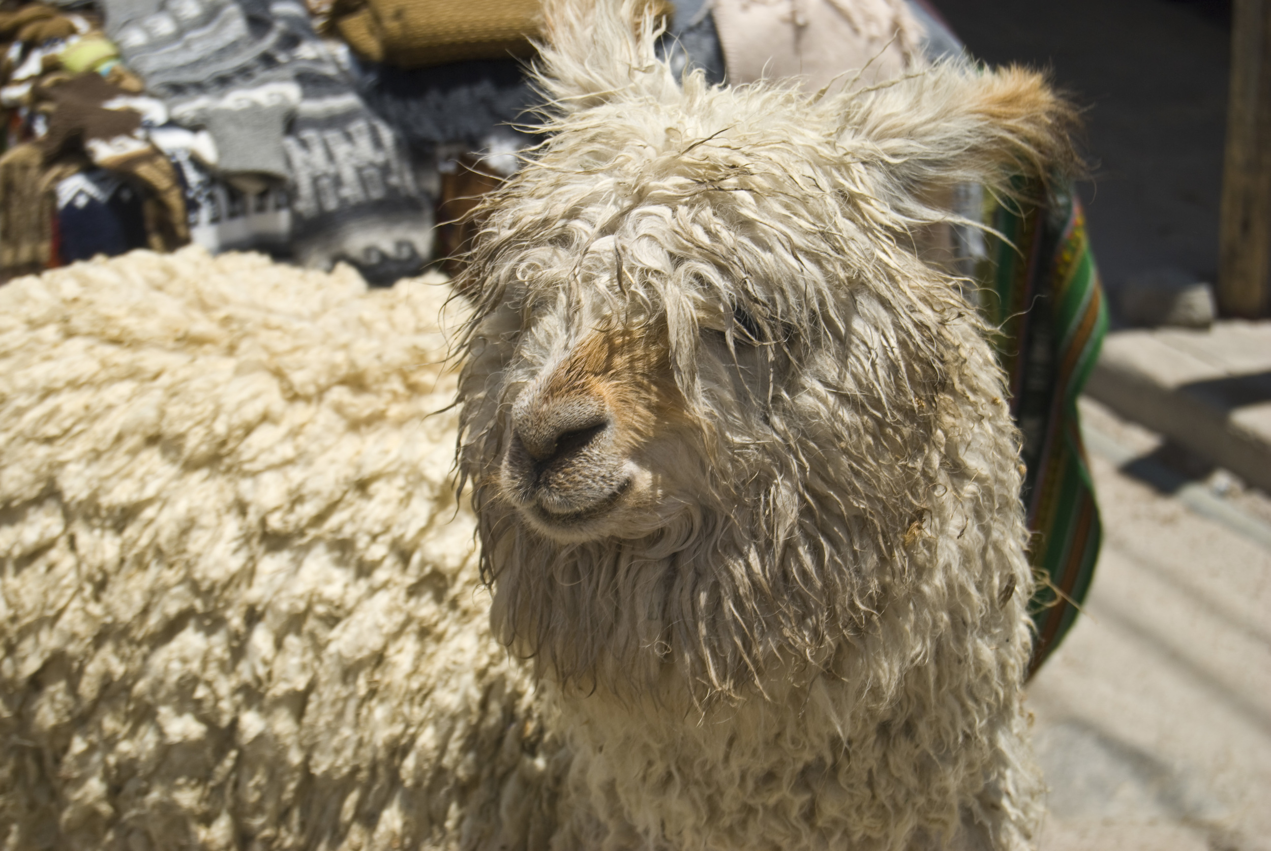 alpaca_4122527558_o.jpg