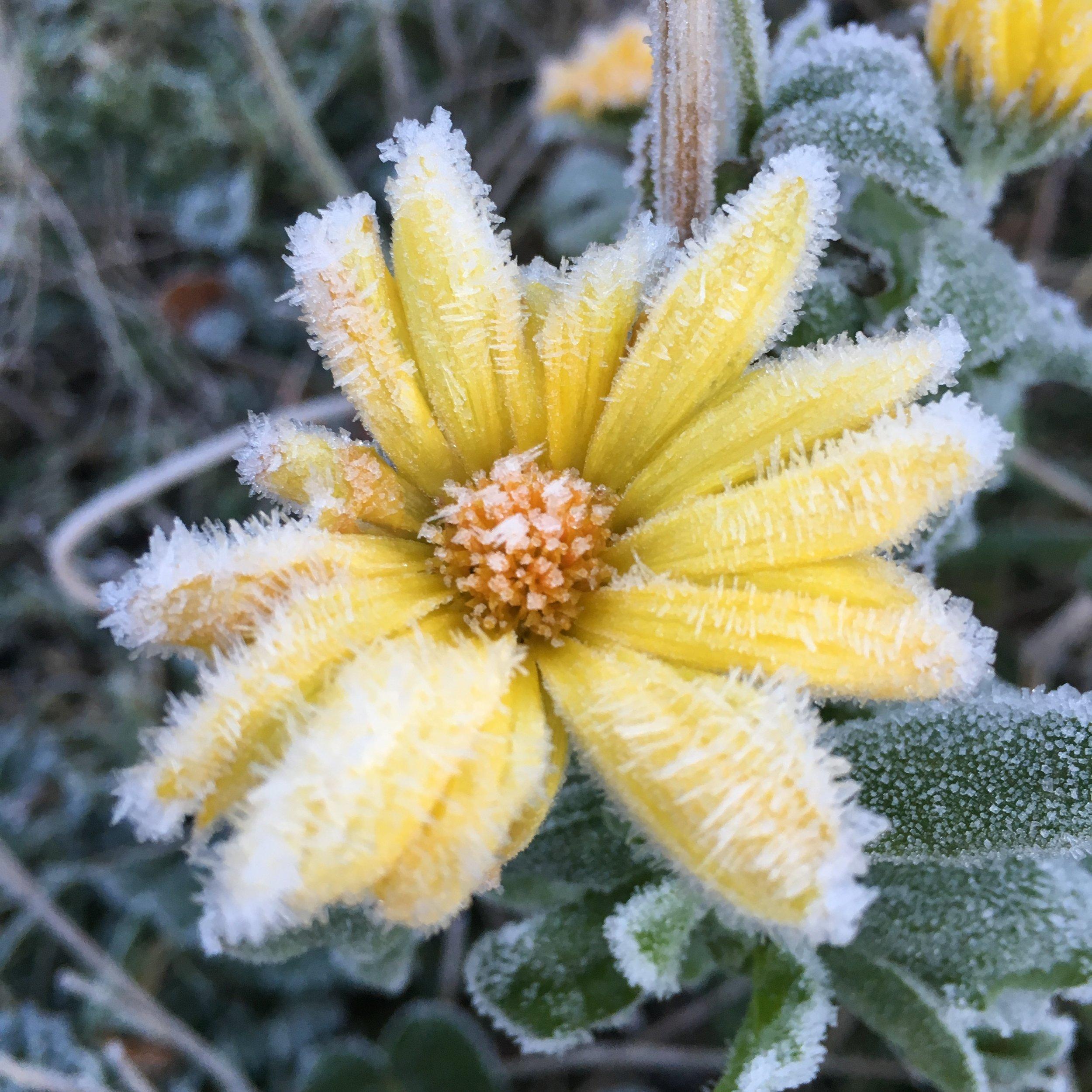 Frosted flower.JPG