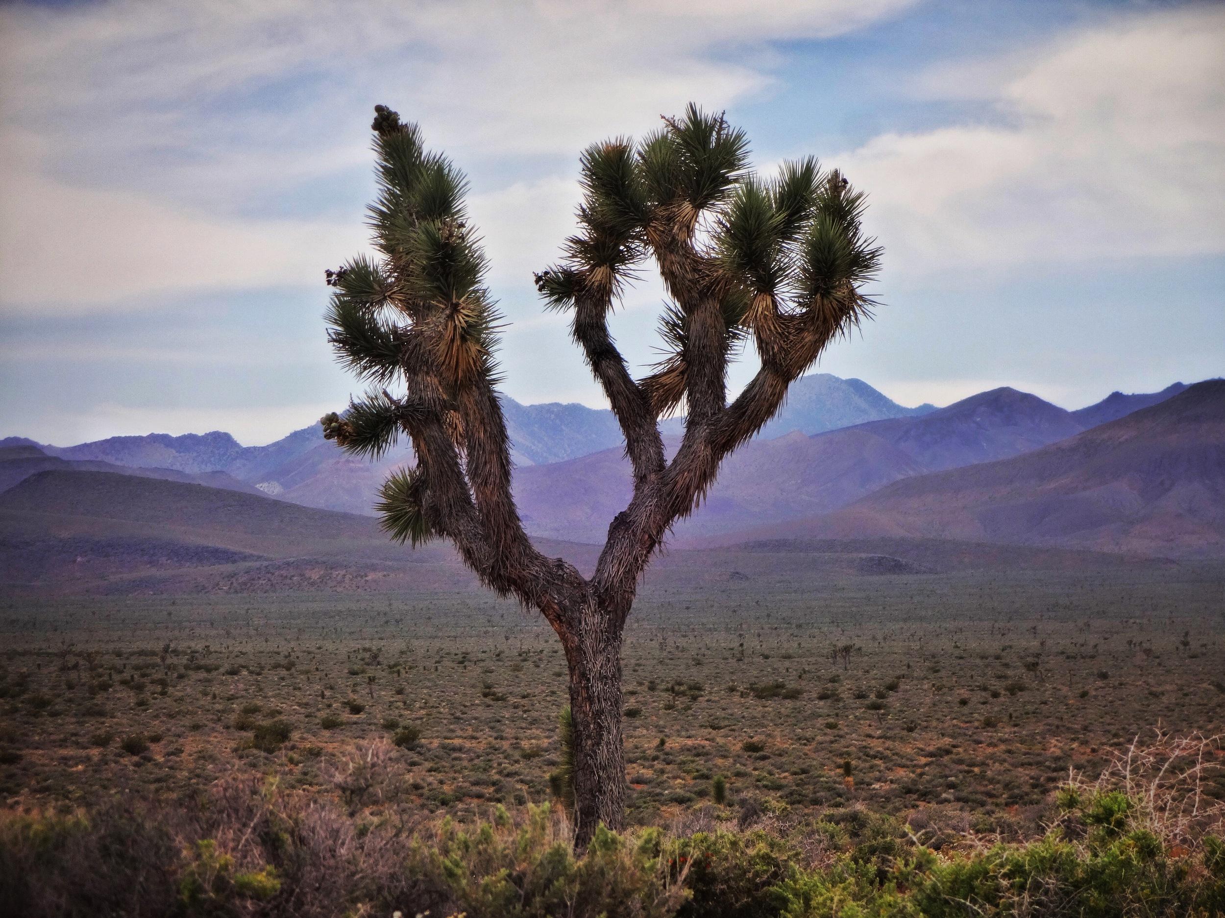 Lone Joshua Tree: Nevada desert