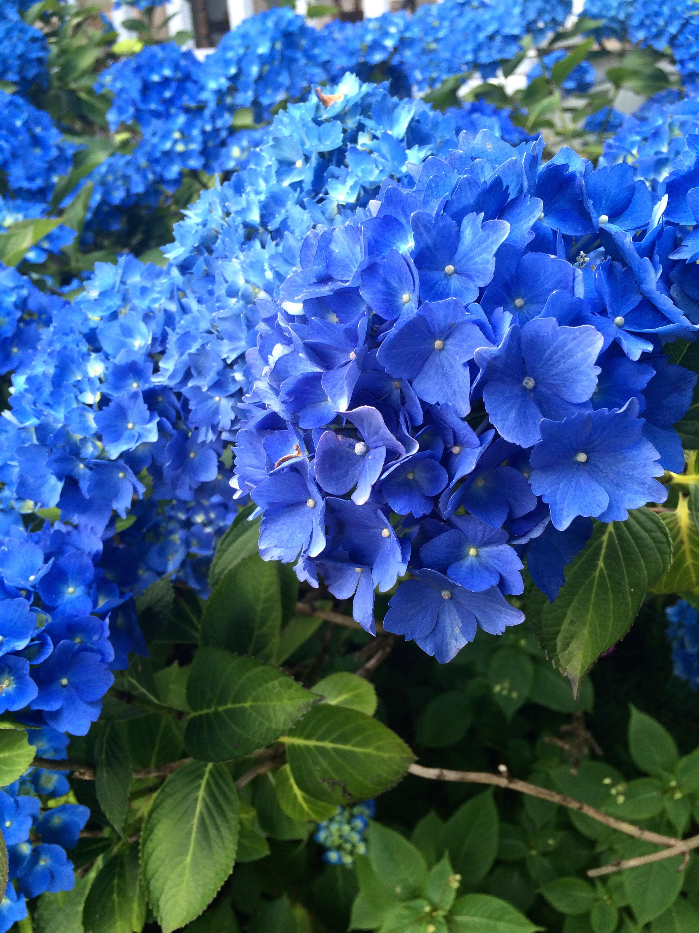 Gorgeous Blue Hydrangea