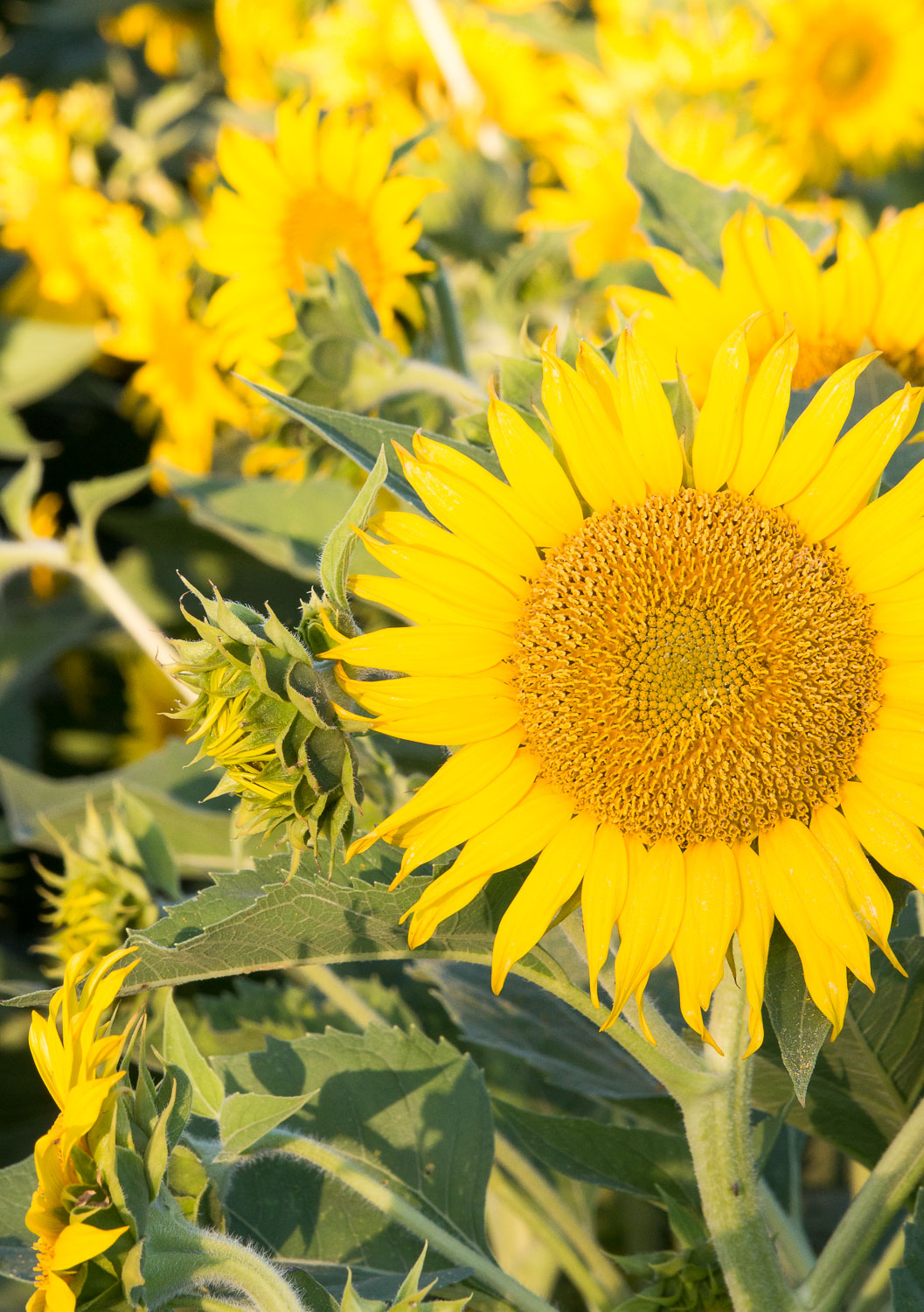 6_29_16 _sunflowers-1.jpg