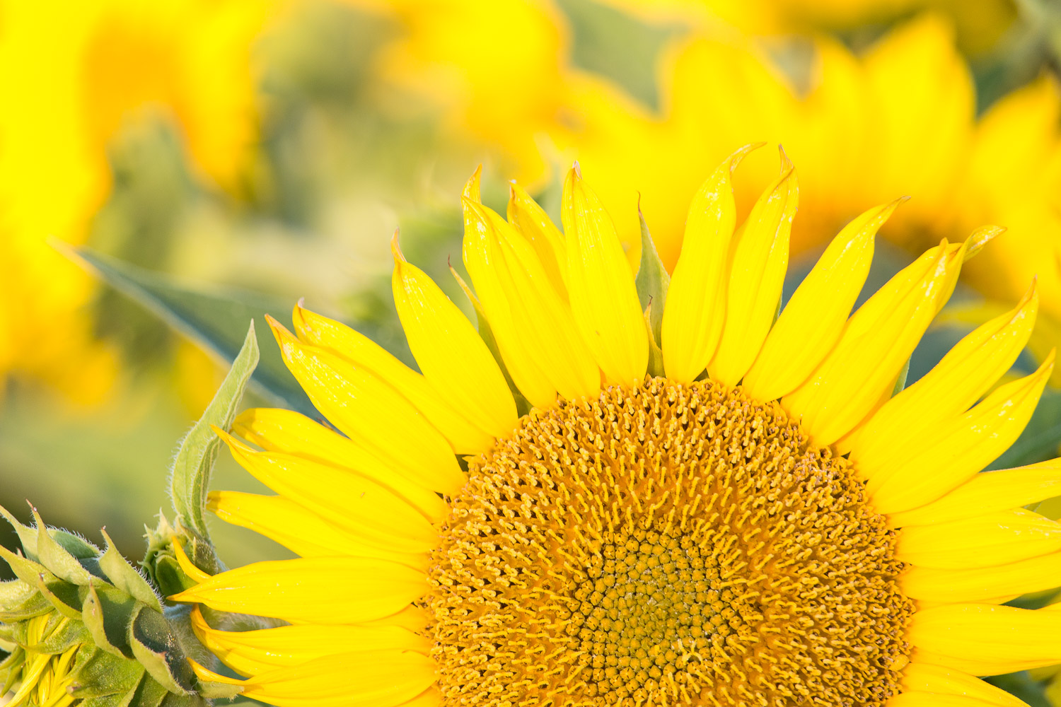 6_29_16 _sunflowers-3.jpg