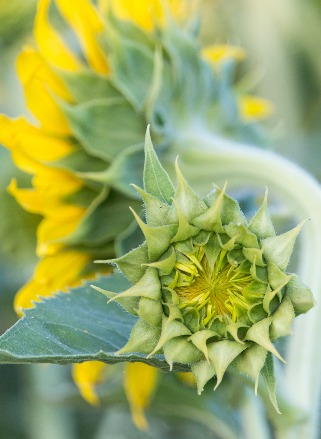 6_29_16 _sunflowers-4.jpg