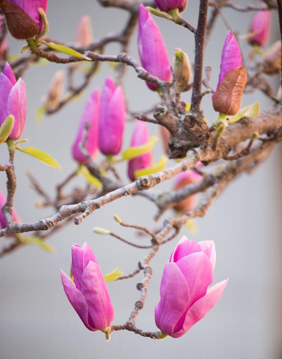 magnolia-2.jpg