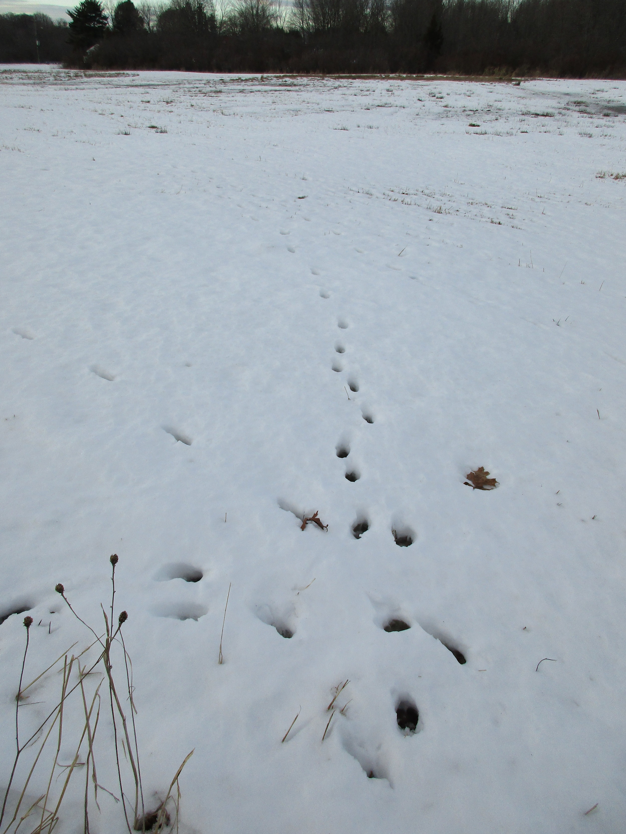 Coyote tracks on the way to the bee hives.