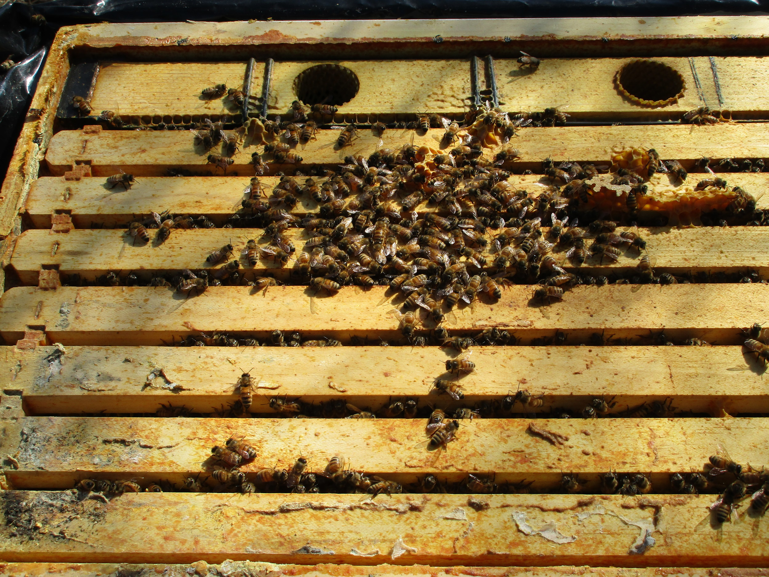 Feb 28th.  Opening up the hives for the first time since the fall. Looks good!
