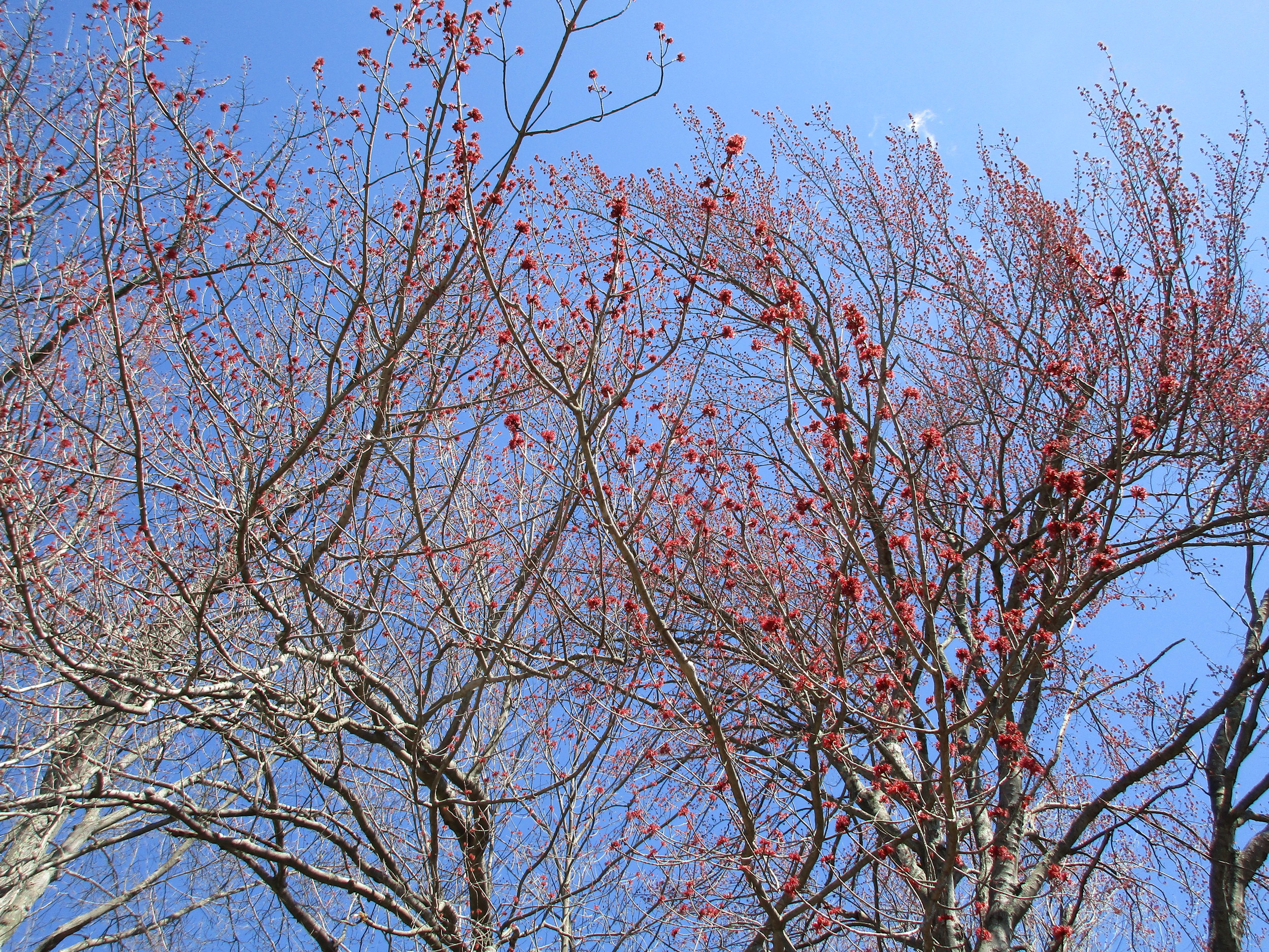 March 29th.  Red maple flowers are an important source of pollen for bees.