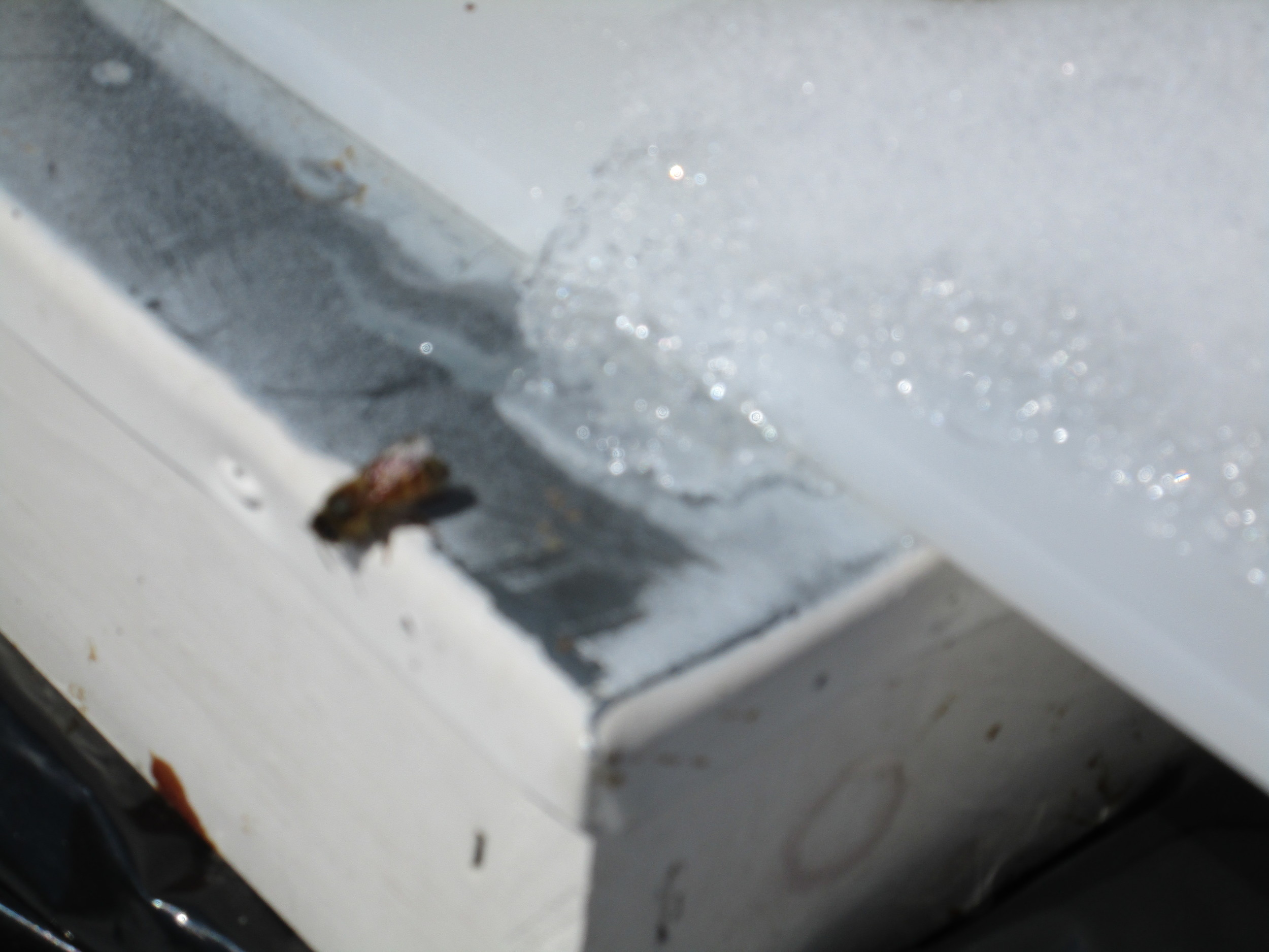 April 3rd.  Bee on lid of hive with ice and snow. Not that great a picture, but you get the idea.
