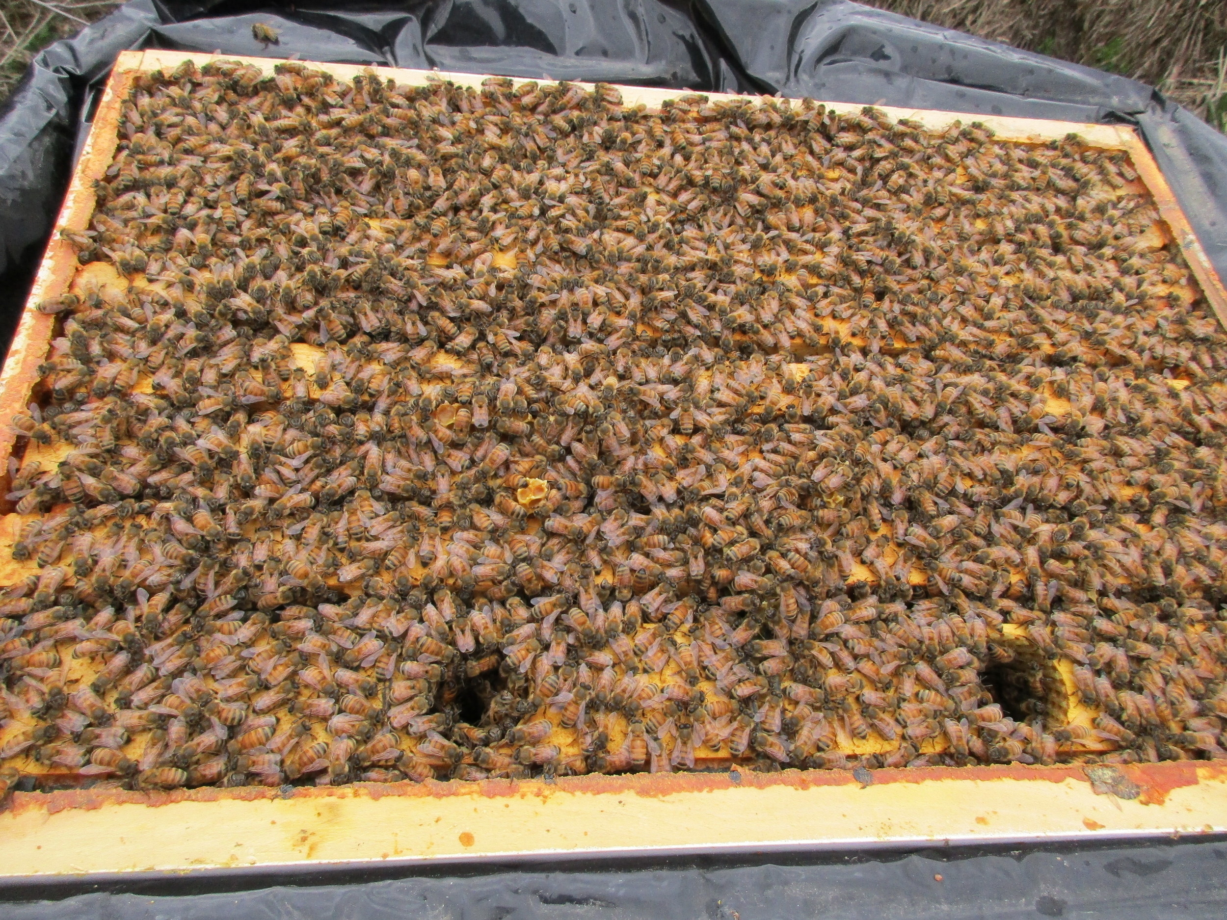 Fri April 8th. Wow! What a lot of bees!