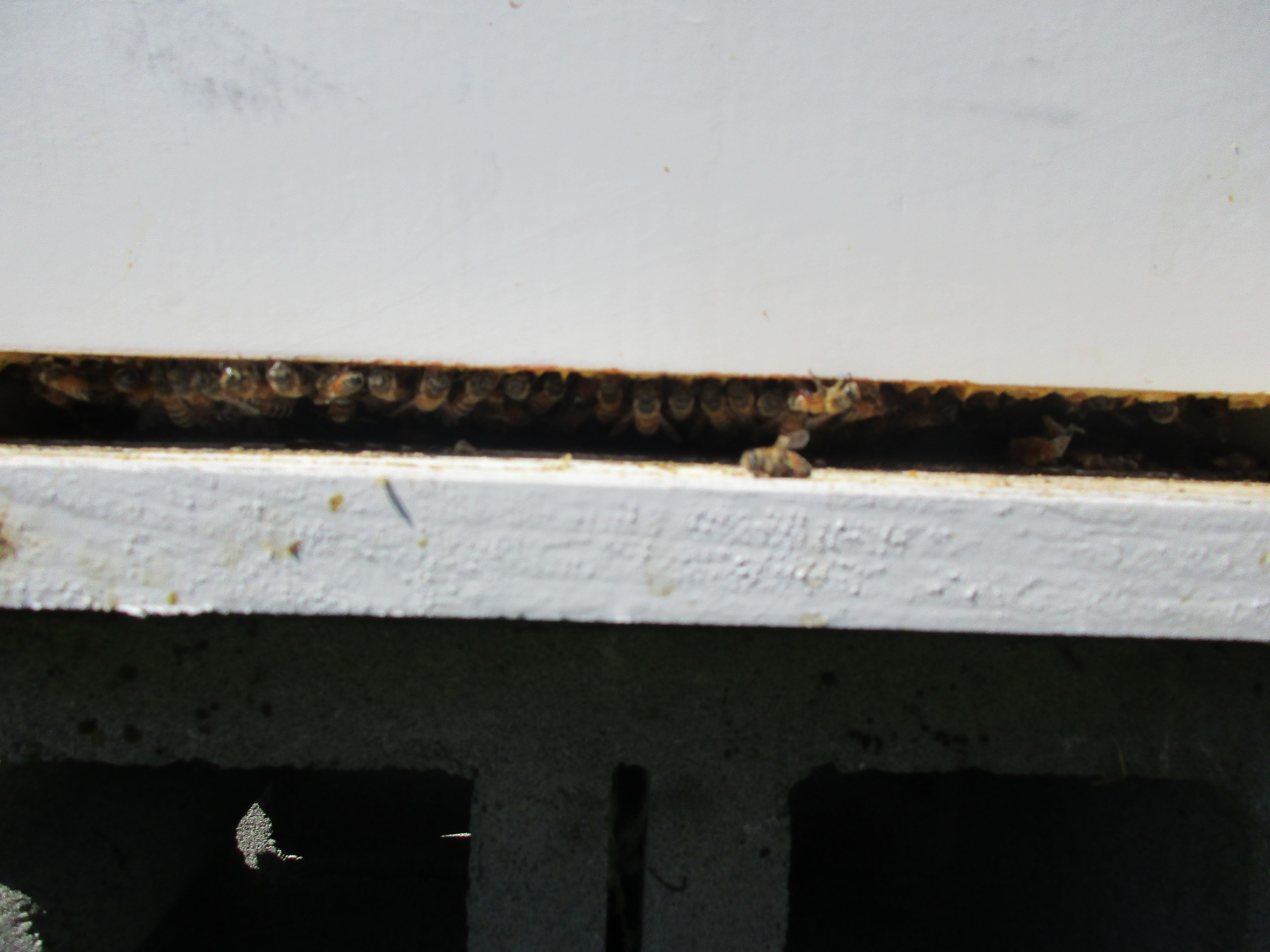 Bees hanging out at the hive entrance now that there is no mouse guard any more.