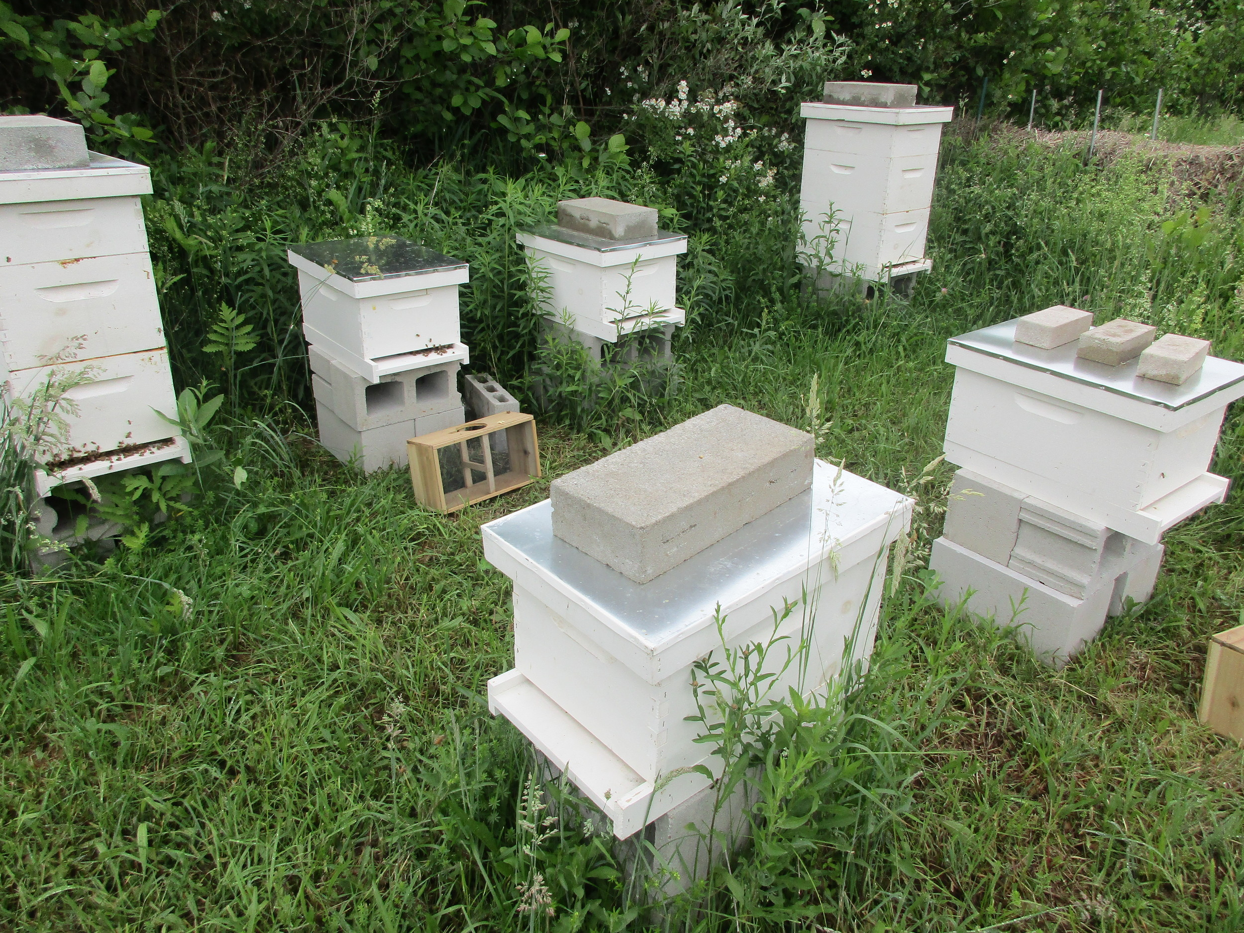 The two new hives still have the bee package boxes sitting in front of them.