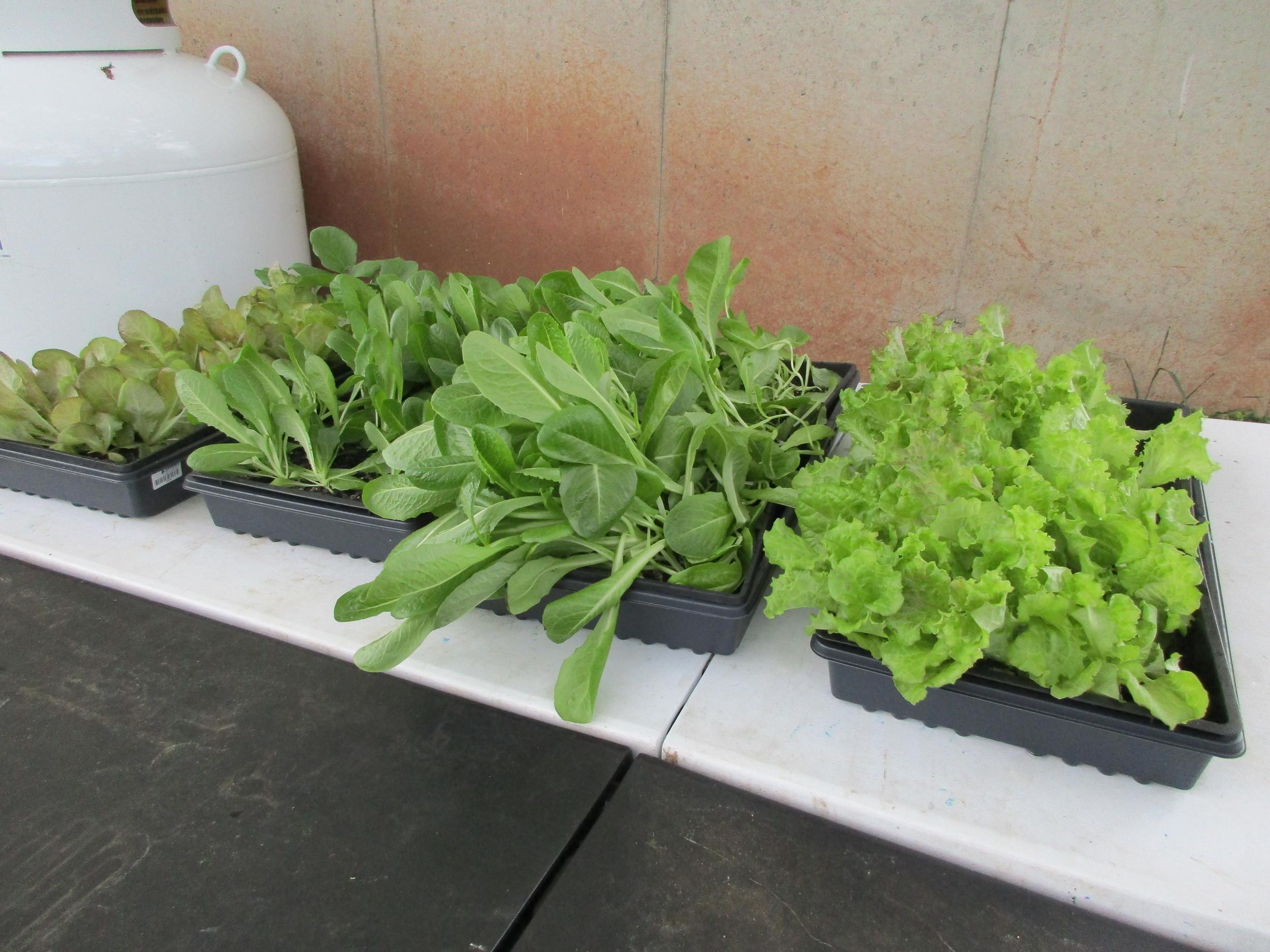 Lettuce seedlings, all wind blown to one side.