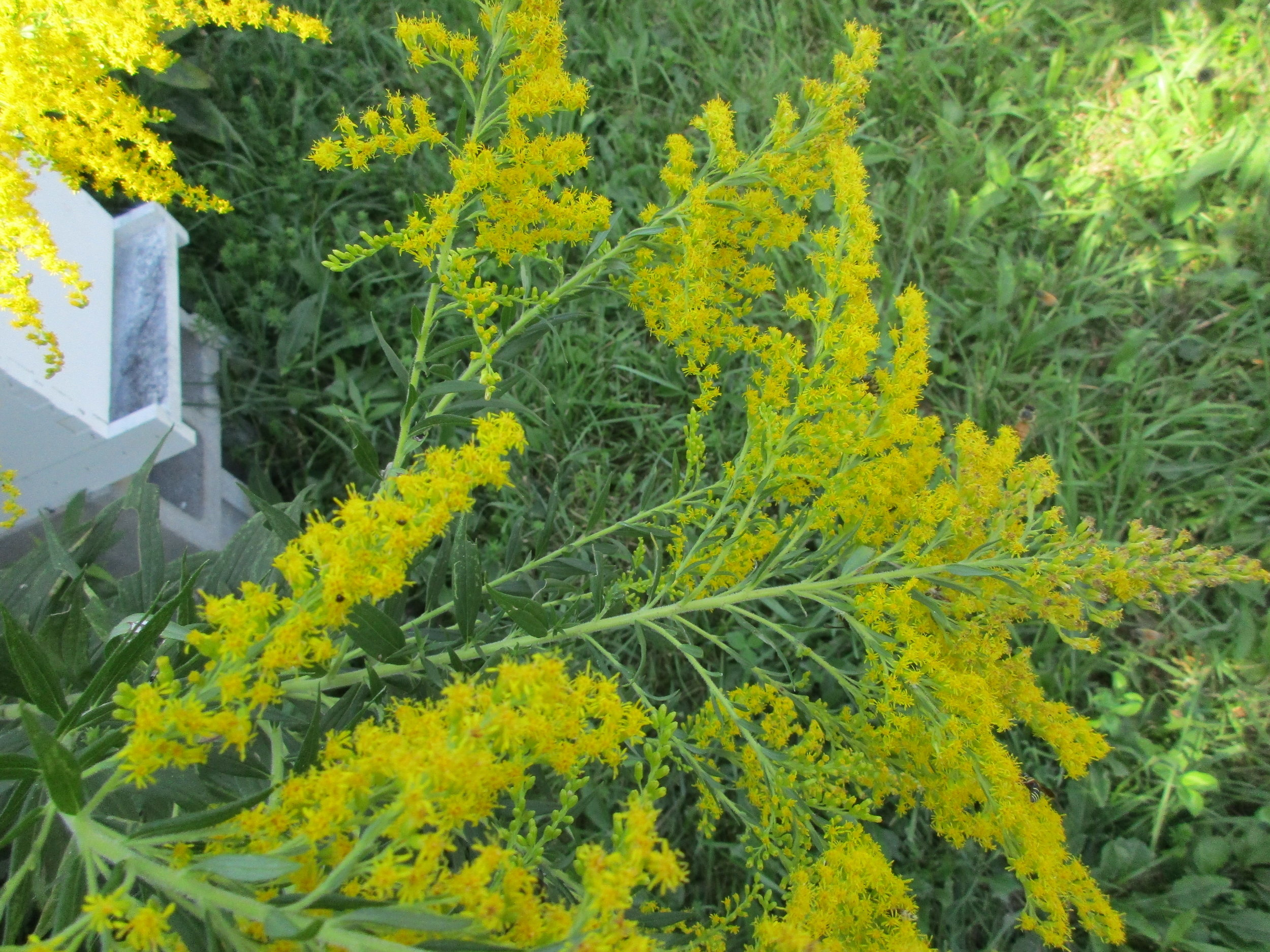 Goldenrod. Can you see the bees landing on it on the right?