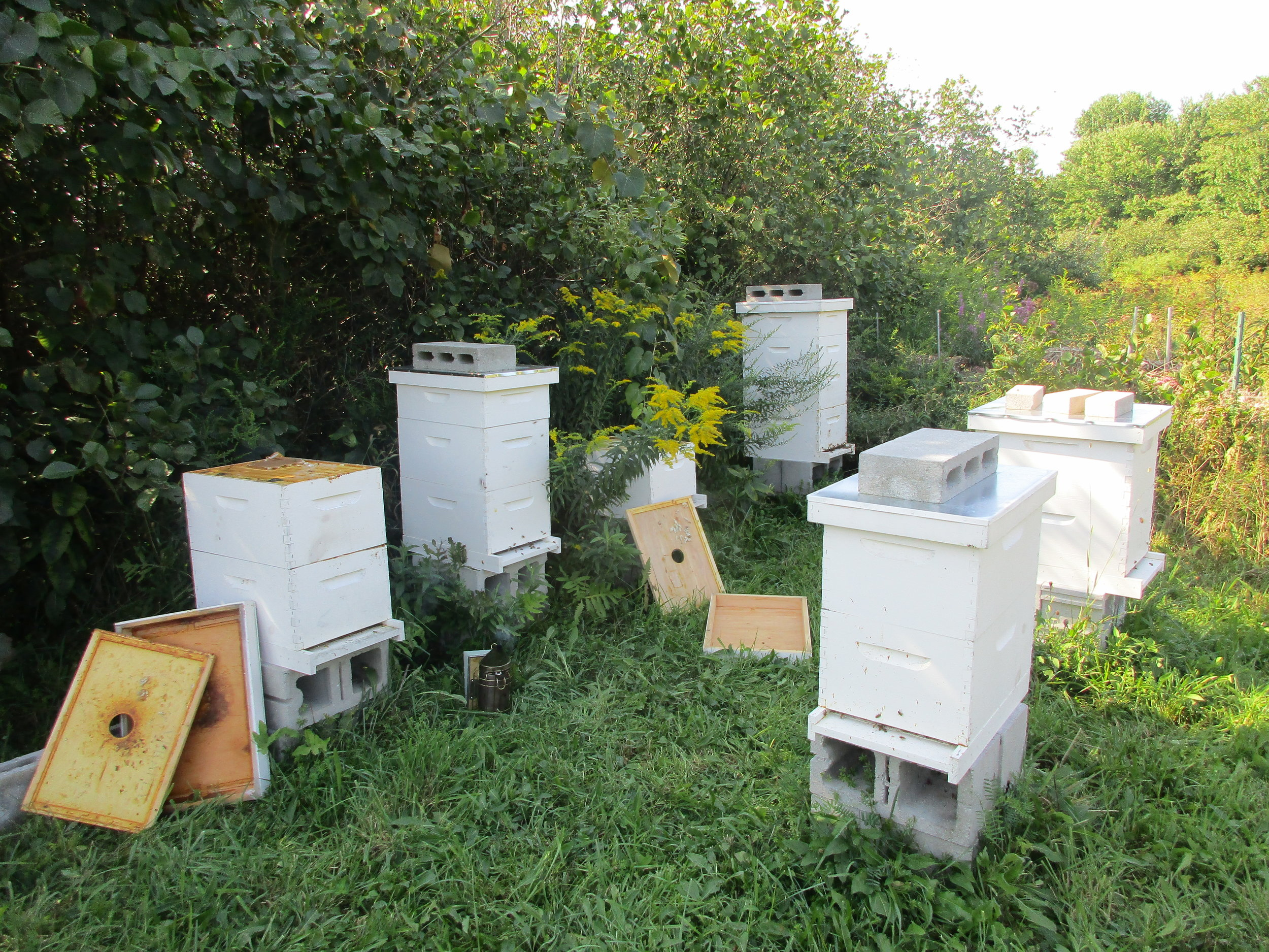 The four hives with lids on and bricks are the only hives left. The ones with lids resting up against the side are empty of bees.