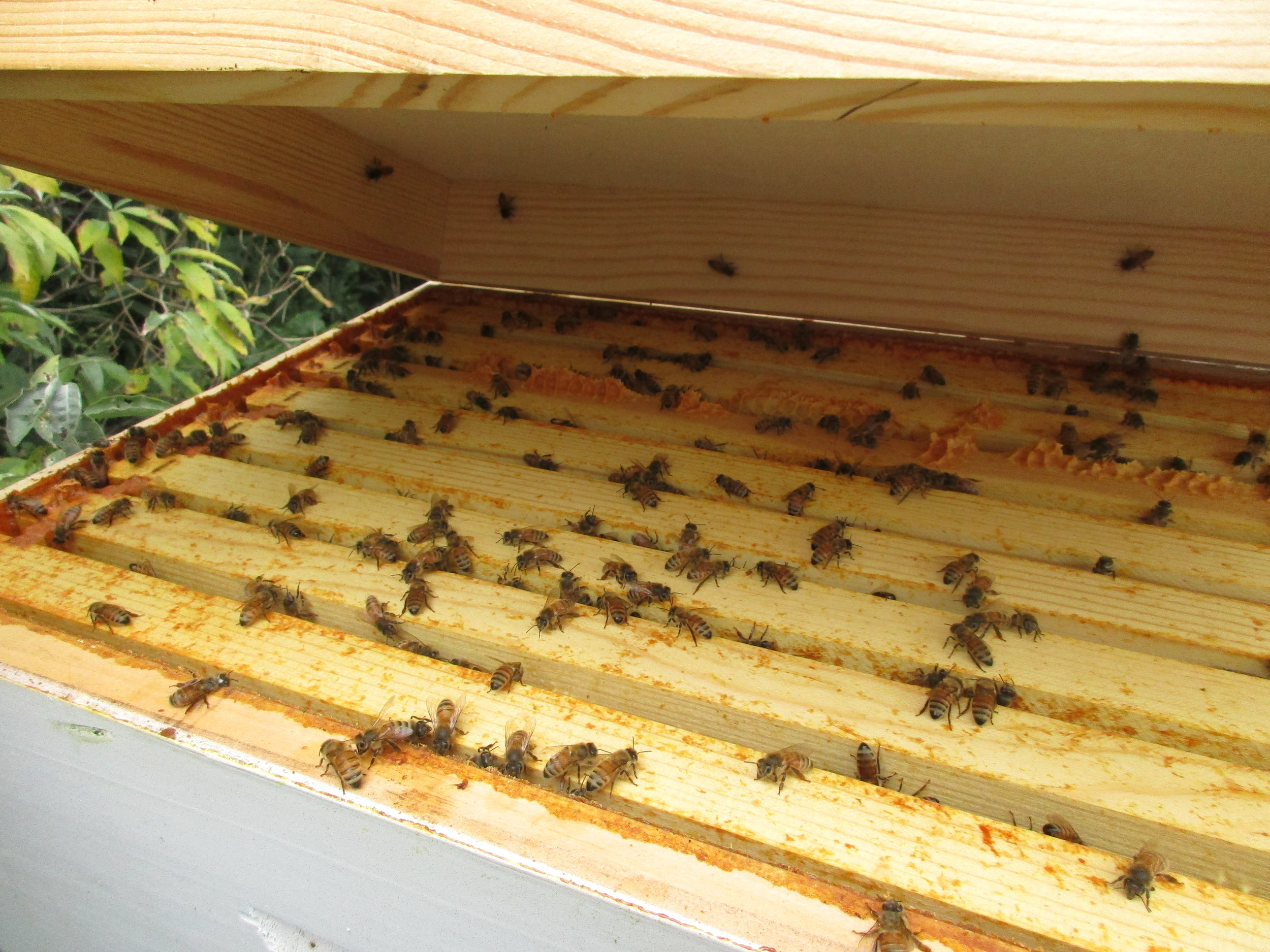 Supposedly, the bees should all move down to the lower boxes. Clearly these bees did not read the instructions. In fact some of them are even hanging out on the felt lining where I sprayed the repellent!