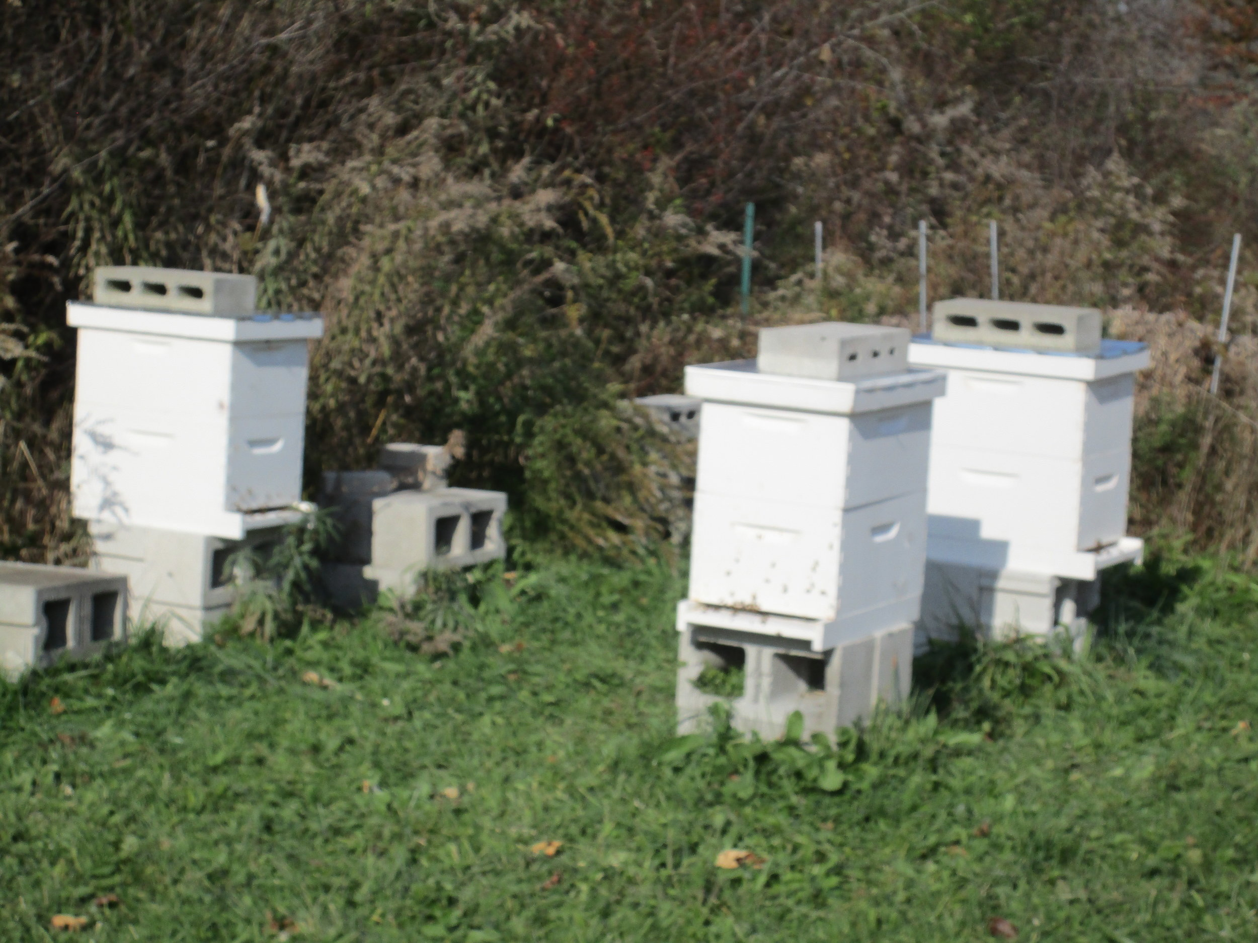 At least these three hives are going strong