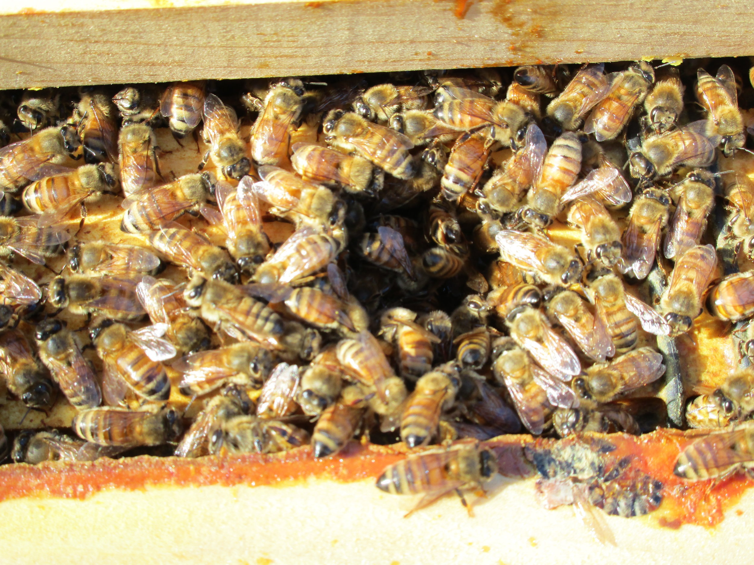 Bees thriving in one of the hives after a long winter - 2016