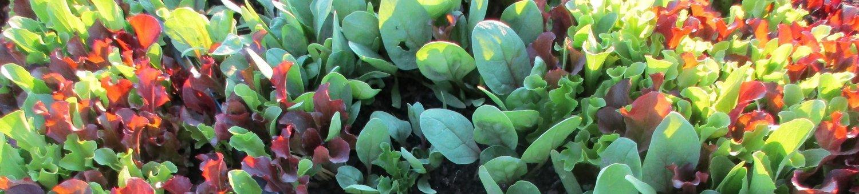 lettuce-banner.jpg