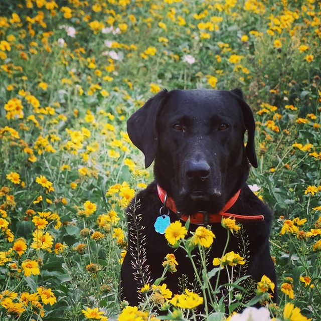 "Swipe for Flecha's ""I see a rabbit"" face. 🐰👀 • • • #birddogoftheday #birddogofinstagram #huntingdog #huntingdogsofinstagram #huntingdogoftheday #southtexas #ranching #ranchinglife #gooddog #texaswildflowers #texasspring #texassummers #birddogs #wildlifephotography"