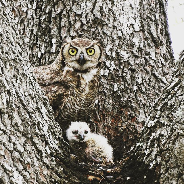 This Great Horned Owl made her home in our backyard and gave birth to her chick just in time for Mothers Day! 🦉🐣 • • • • #ShootAV #jonesaltavistaranch  #wildlifephotography #wildlife #greathornedowl #audobonsociety #birdwatching #birdwatchers #birdwatchingphotography #ranchlife #ranching #ranchinglife #mothersday