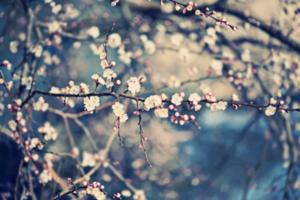 cherry_tree.1.png