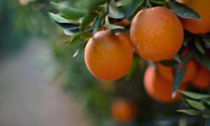 orange.blossom.png