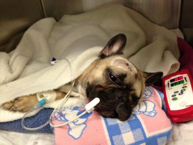 Help Gumbo the Frenchie!
