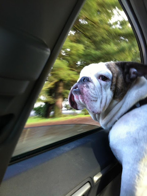 Spike the English bulldog