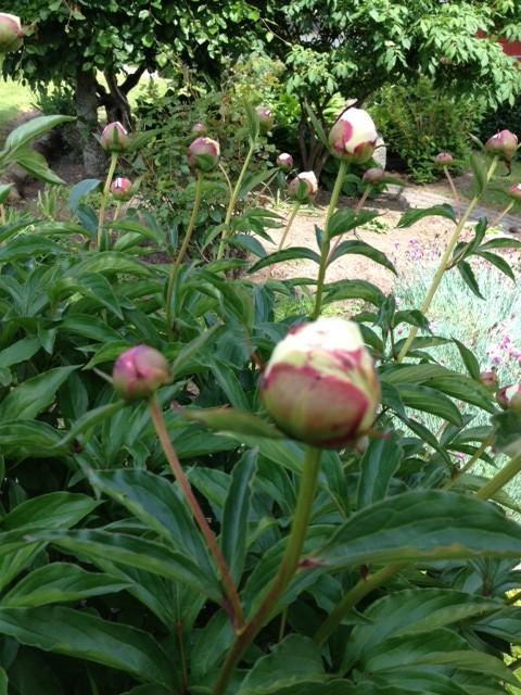 Paeonia, blomsterideer, Annie Dorthe Sandholm