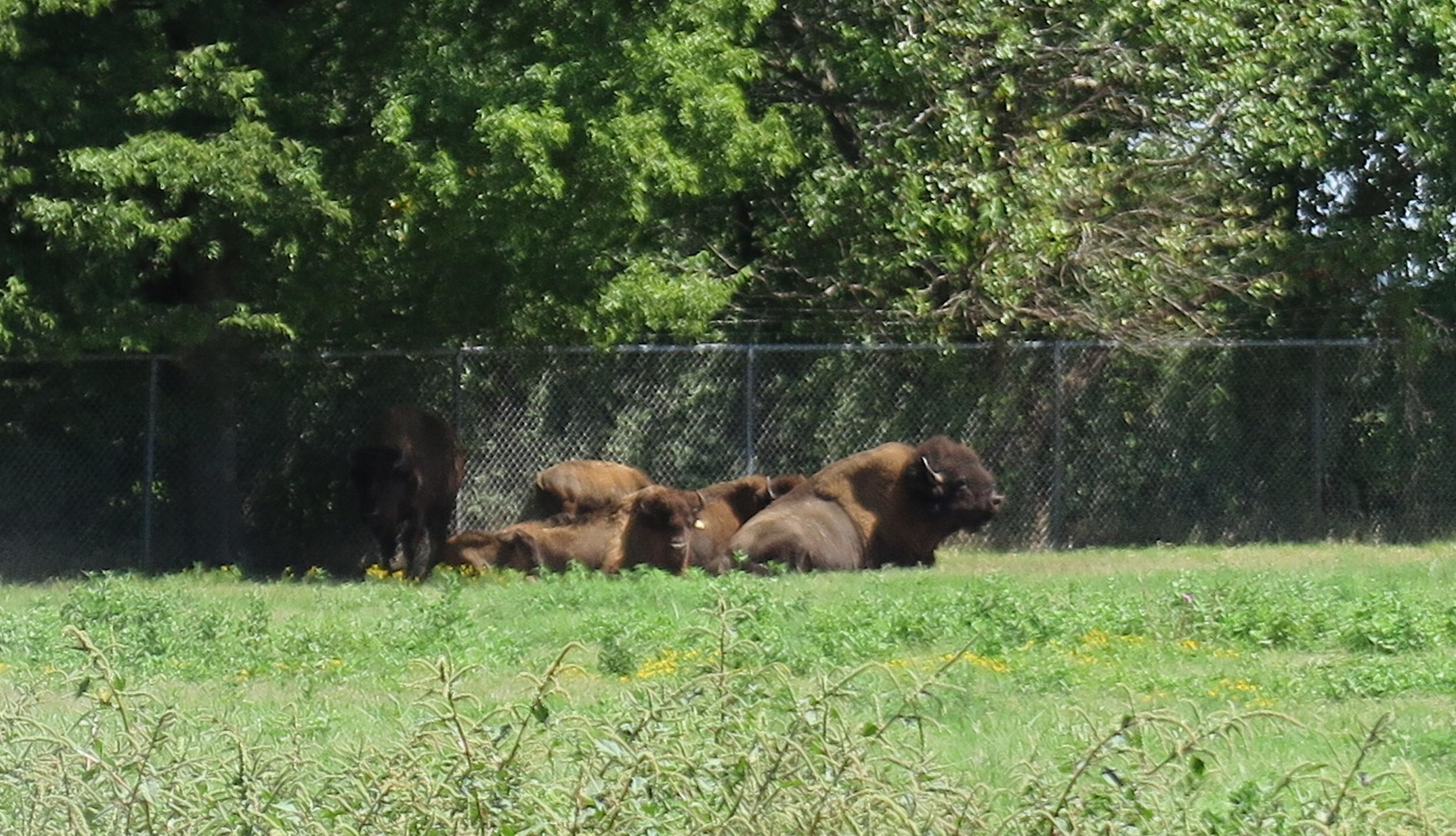 Ja olihan siellä Buffalo Ranchilla toki puhveleitakin...