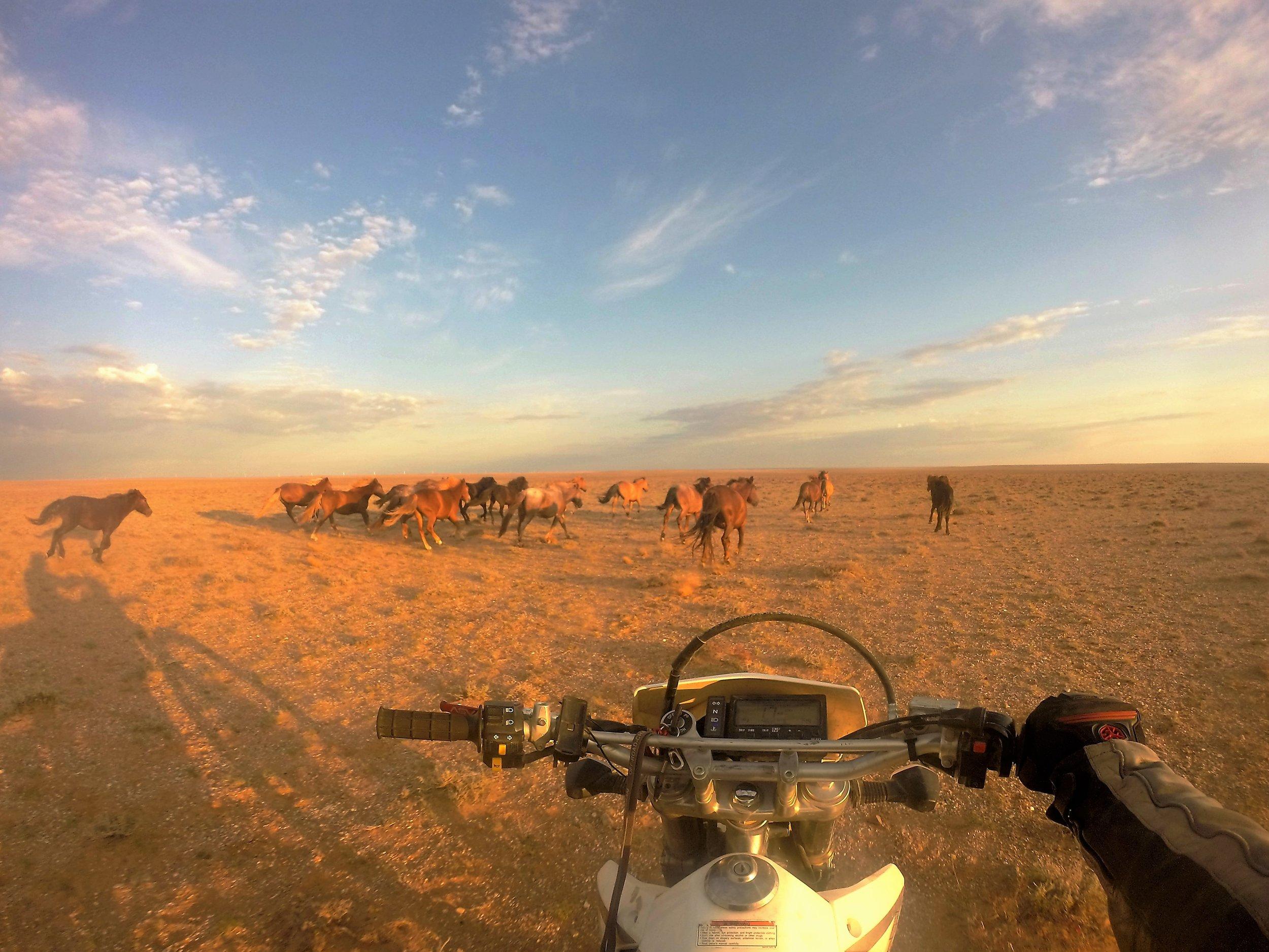 """Matkalla tavattiin myös villihevoslaumoja - korvalappustereoissa soi CCR:n """"Fortunate son"""", alla murise uskollinen rautaheppa ja Mongolia näyttää parhaimpia puolia... Tällaiset hetket palavat silmäkalvoihin loppuelämään saakka..."""