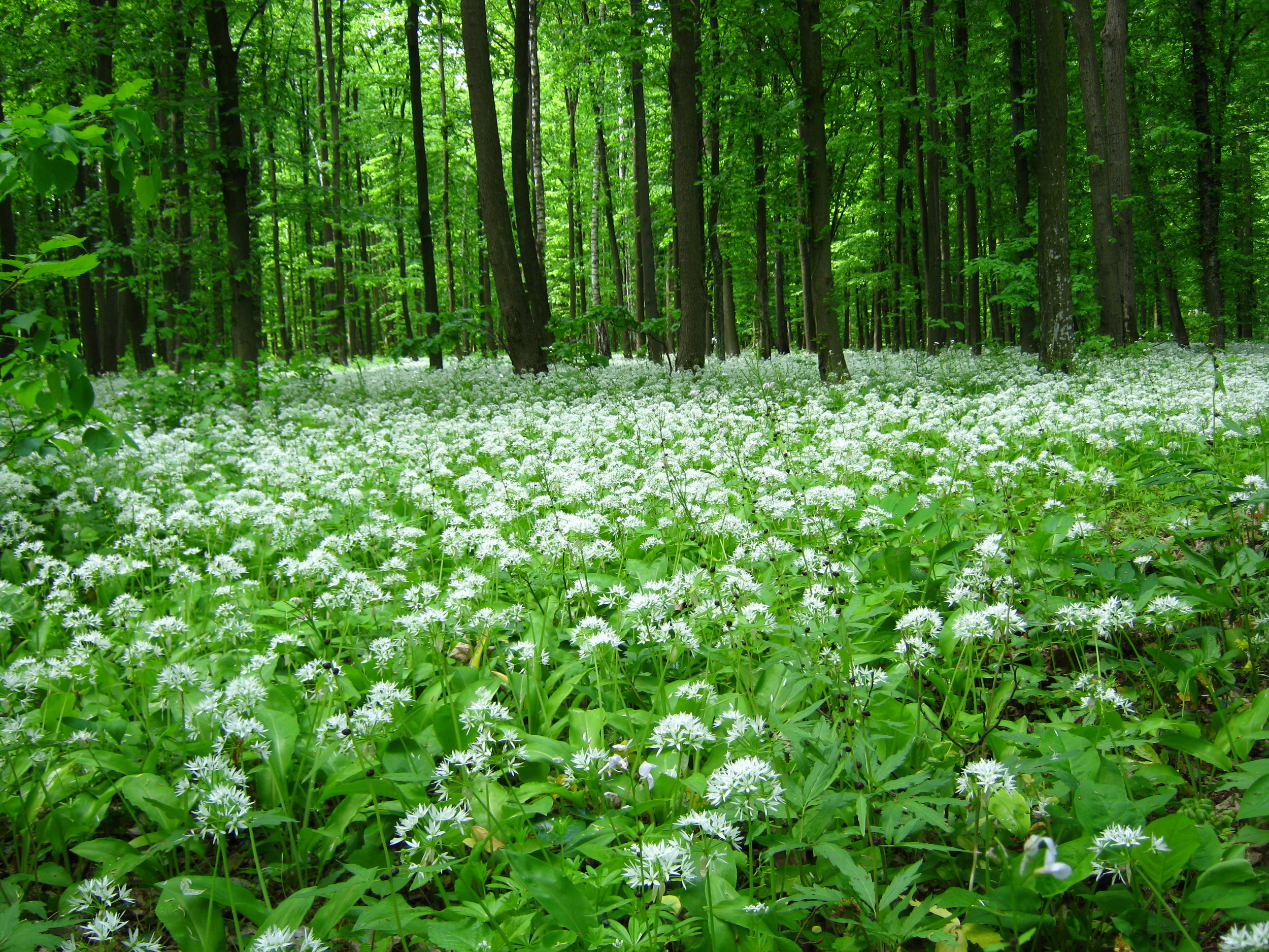 Blooming_wild_garlic.jpg