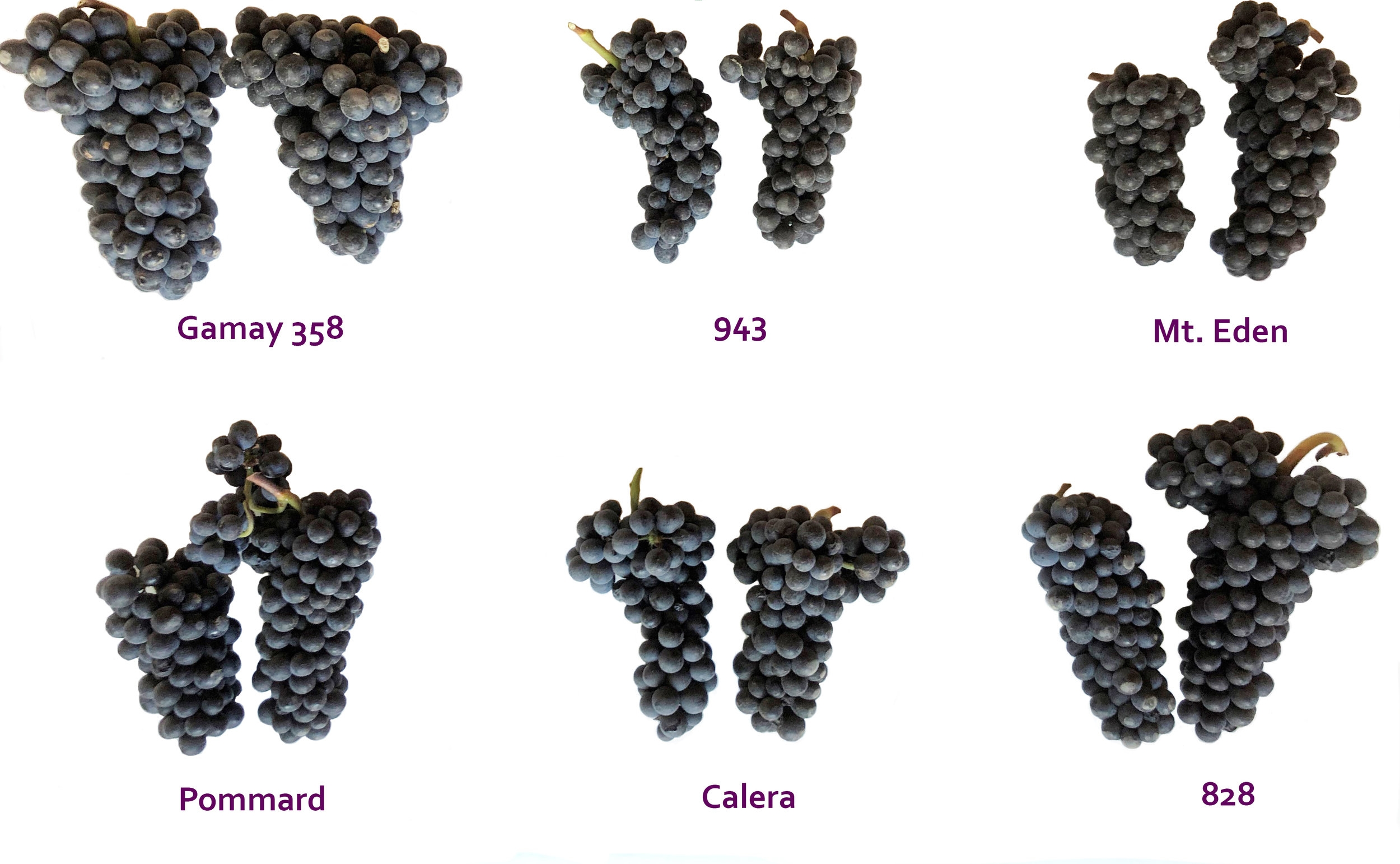The many different faces of Pinot Noir and Gamay Noir grown at the Twin Hills Vineyard (photo:  M. Reichwage 2018).     Note:  intended for demonstration purposes only, cluster morphology can differ wildly based on the vintage.  These are also grown on a heterogeneous hilltop, with a couple different rootstocks, with some different spacings, just so you know…