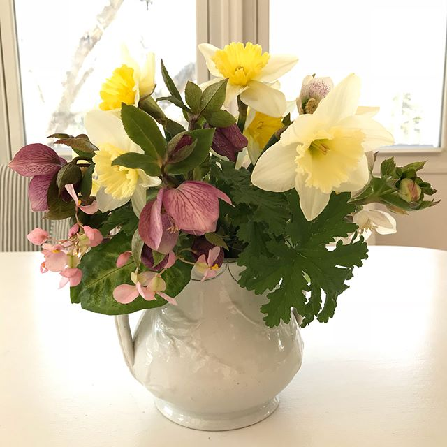 A little something for the Easter party: Daffodils, anemones & hellebores from the garden + scented geraniums & Rex begonia blooms snipped from houseplants, designed in vintage ironstone. #buckeyeblooms #ohioflowers #easter #daffodils #hellebore #granvilleohio #seasonalfloweralliance #fieldtovase #slowflowers #gardentotable