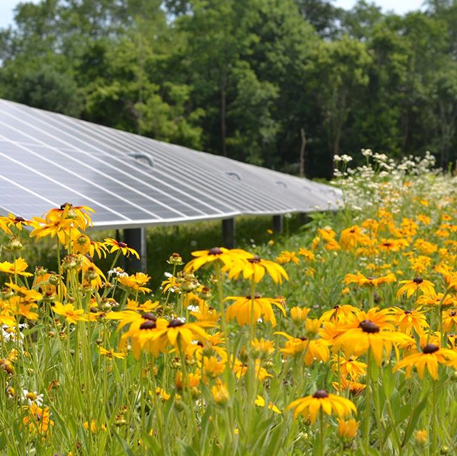 "This! Seeing the pollinator habitat in full bloom in between the rows of solar panels at the Denison solar array today was beautiful balm for the soul. I'm SO dang proud of my hubby's persistence to make this part of the project happen. The solar array not only provides clean renewable energy to campus, it is now home to rudbeckia, coreopsis asclepias and so many other beauties and is alive with butterflies, bees and dragonflies. Our little guy went crazy checking out all the flowers, declaring each rudbeckia ""more gorgeous-er"" than the next. #moreofthis #denisonproud #denison #gosolar #flowerpower #buckeyeblooms #ohioflowers #granvilleohio #bhgflowers"